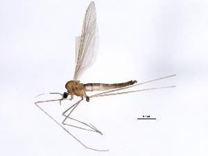 (Paracladurinae - 10BBCDIP-1445)  @13 [ ] CC-0 (2010) CBG Photography Group Centre for Biodiversity Genomics