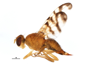 (Rhagoletis basiola - 10BBCDIP-3432)  @14 [ ] CC-0 (2011) CBG Photography Group Centre for Biodiversity Genomics