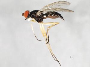 (Tanypeza longimana - 09BBEDI-1135)  @14 [ ] CC-0 (2010) CBG Photography Group Centre for Biodiversity Genomics