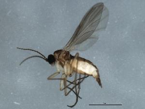 (Ctenosciara hyalipennis - 09BBEDI-1363)  @13 [ ] CC-0 (2010) CBG Photography Group Centre for Biodiversity Genomics