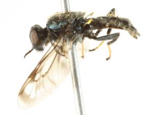 (Myxosargus - BIOUG01786-G05)  @13 [ ] CreativeCommons - Attribution Non-Commercial Share-Alike (2012) CBG Photography Group Centre for Biodiversity Genomics