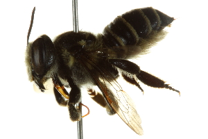 (Megachile albitarsis - BIOUG02475-D10)  @14 [ ] CreativeCommons - Attribution Non-Commercial Share-Alike (2013) CBG Photography Group Centre for Biodiversity Genomics