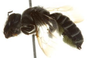 (Megachile frugalis - BIOUG02475-H05)  @13 [ ] CreativeCommons - Attribution Non-Commercial Share-Alike (2013) CBG Photography Group Centre for Biodiversity Genomics