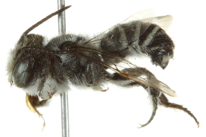 (Megachile pankus - BIOUG02479-C07)  @14 [ ] CreativeCommons - Attribution Non-Commercial Share-Alike (2013) CBG Photography Group Centre for Biodiversity Genomics
