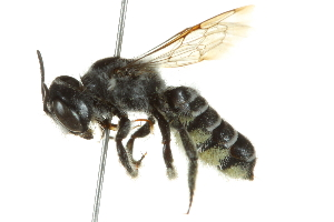 (Megachile newberryae - BIOUG02479-C10)  @14 [ ] CreativeCommons - Attribution Non-Commercial Share-Alike (2013) CBG Photography Group Centre for Biodiversity Genomics