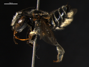 (Megachile pseudobrevis - BIOUG02475-D05)  @14 [ ] CreativeCommons - Attribution Non-Commercial Share-Alike (2013) CBG Photography Group Centre for Biodiversity Genomics