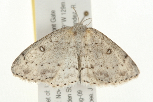 (Cyclophora - 09BBELE-0722)  @16 [ ] CC-0 (2009) CBG Photography Group Centre for Biodiversity Genomics
