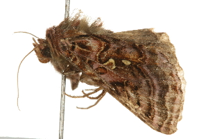 (Autographa mappa - 09BBELE-0102)  @16 [ ] CC-0 (2009) CBG Photography Group Centre for Biodiversity Genomics