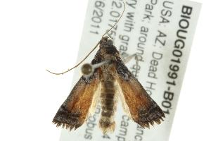 (Chararica bicolorella - BIOUG01991-B01)  @13 [ ] CreativeCommons - Attribution Non-Commercial Share-Alike (2013) CBG Photography Group Centre for Biodiversity Genomics