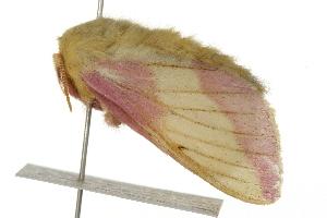 (Dryocampa - 09BBELE-2582)  @15 [ ] CC-0 (2009) CBG Photography Group Centre for Biodiversity Genomics