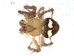 (Araneus partitus - CCDB-08514-A08)  @13 [ ] Copyright  G. Blagoev 2010 Unspecified