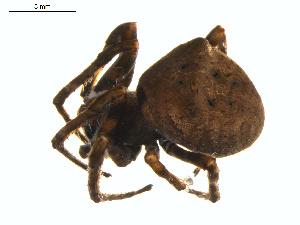 (Araneus andrewsi - BIOUG00890-B09)  @13 [ ] Copyright  G. Blagoev 2011 Unspecified