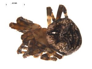 (Araneus sp. 5GAB - CCDB-05308-B07)  @12 [ ] CreativeCommons - Attribution Non-Commercial Share-Alike (2009) Gergin Blagoev Centre for Biodiversity Genomics
