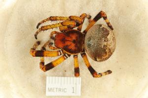 (Araneus bicentenarius - BIOUG00162-E12)  @13 [ ] Copyright  G. Blagoev 2010 Unspecified