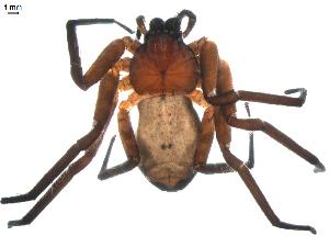 (Selenopidae - BIOUG00614-F12)  @13 [ ] Copyright  G. Blagoev 2010 Unspecified