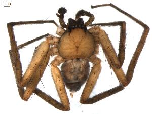 (Selenopidae - BIOUG00614-G07)  @13 [ ] Copyright  G. Blagoev 2010 Unspecified