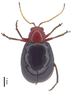 (Monolepta sp. 3 - C6924)  @14 [ ] CreativeCommons – Attribution Non-Commercial Share-Alike (2017) Unspecified Institute for Tropical Biology and Conservation, Universiti Malaysia Sabah