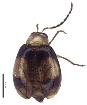 (Monolepta sp. 2 - C6931)  @14 [ ] CreativeCommons – Attribution Non-Commercial Share-Alike (2017) Unspecified Institute for Tropical Biology and Conservation, Universiti Malaysia Sabah