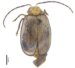 (Monolepta sp. 7 - C8426)  @14 [ ] CreativeCommons – Attribution Non-Commercial Share-Alike (2017) Unspecified Institute for Tropical Biology and Conservation, Universiti Malaysia Sabah