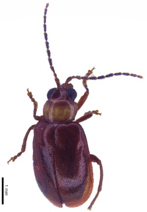 (Monolepta sp. 6 - C8531)  @14 [ ] CreativeCommons – Attribution Non-Commercial Share-Alike (2017) Unspecified Institute for Tropical Biology and Conservation, Universiti Malaysia Sabah