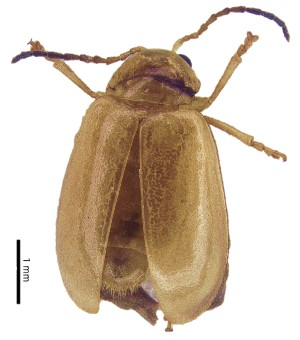 (Monolepta sp. 12 - C9201)  @14 [ ] CreativeCommons – Attribution Non-Commercial Share-Alike (2017) Unspecified Institute for Tropical Biology and Conservation, Universiti Malaysia Sabah