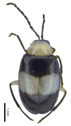 (Monolepta sp. 9 - C8525)  @14 [ ] CreativeCommons – Attribution Non-Commercial Share-Alike (2017) Unspecified Institute for Tropical Biology and Conservation, Universiti Malaysia Sabah