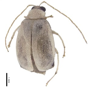 (Monolepta sp. 17 - C9449)  @14 [ ] CreativeCommons – Attribution Non-Commercial Share-Alike (2017) Unspecified Institute for Tropical Biology and Conservation, Universiti Malaysia Sabah