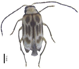 (Monolepta sp. 18 - C9679)  @14 [ ] CreativeCommons – Attribution Non-Commercial Share-Alike (2017) Unspecified Institute for Tropical Biology and Conservation, Universiti Malaysia Sabah