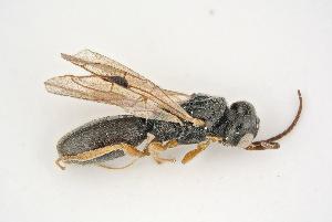 (Vanhorniidae - BC-ZSM-HYM-21584-F06)  @11 [ ] CreativeCommons - Attribution Non-Commercial Share-Alike (2014) Stefan Schmidt SNSB, Zoologische Staatssammlung Muenchen