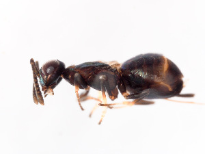 (Eupelmus atropurpureus - BC-ZSM-HYM-22526-F09)  @13 [ ] CreativeCommons - Attribution Non-Commercial Share-Alike (2014) Stefan Schmidt SNSB, Zoologische Staatssammlung Muenchen