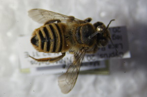 (Megachile patellimana - BC ZSM HYM 22612)  @13 [ ] CreativeCommons - Attribution Non-Commercial Share-Alike (2015) SNSB, Zoologische Staatssammlung Muenchen SNSB, Zoologische Staatssammlung Muenchen