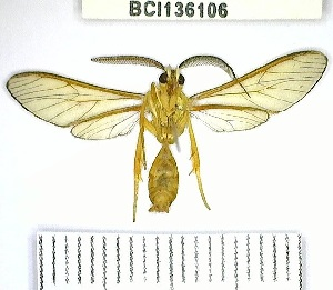 (Pleurosoma sp. 1YB - YB-BCI136106)  @11 [ ] No Rights Reserved  Unspecified Unspecified