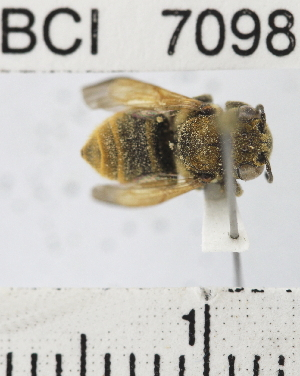 (Megachile sp. 1YB - YB-BCI7098)  @11 [ ] No Rights Reserved (2011) Yves Basset Smithsonian Tropical Research Institute