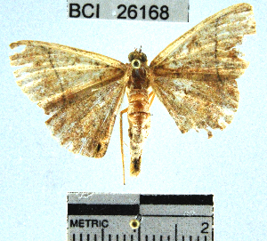 (Geometridae_incertae_sedis sp. 97YB - YB-BCI26168)  @11 [ ] No Rights Reserved  Unspecified Unspecified