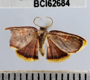 (Geometridae_incertae_sedis sp. 113YB - YB-BCI62684)  @11 [ ] No Rights Reserved  Unspecified Unspecified