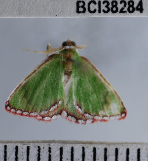 (Synchlora sp. 5YB - YB-BCI38284)  @12 [ ] No Rights Reserved  Unspecified Unspecified