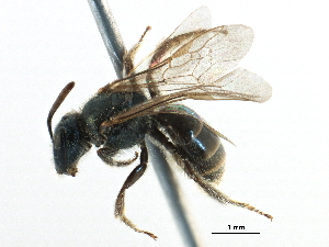 (Lasioglossum paradmirandum - CCDB-06716 B11)  @15 [ ] CreativeCommons - Attribution Non-Commercial Share-Alike (2016) CBG Photography Group Centre for Biodiversity Genomics