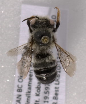 (Megachile subnigra - LRBBC2676)  @13 [ ] CreativeCommons - Attribution Non-Commercial Share-Alike (2009) L.R.Best York University