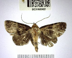 (NoctuidaeGEN sp. 15YB - YB-BCI168902)  @11 [ ] No Rights Reserved  Unspecified Unspecified
