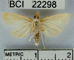 (Pyraustinae_genus sp. 3YB - YB-BCI22298)  @14 [ ] No Rights Reserved  Unspecified Unspecified