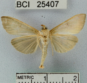 (Ceratocilia sp. 2YB - YB-BCI25407)  @13 [ ] No Rights Reserved  Unspecified Unspecified