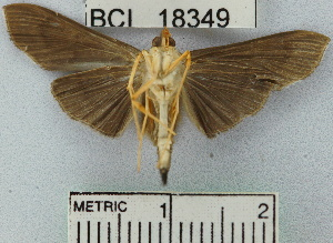 (Omiodes humeralis - YB-BCI18349)  @14 [ ] No Rights Reserved  Unspecified Unspecified