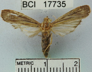 (Phycitinae_genus sp. 1YB - YB-BCI17735)  @13 [ ] No Rights Reserved  Unspecified Unspecified