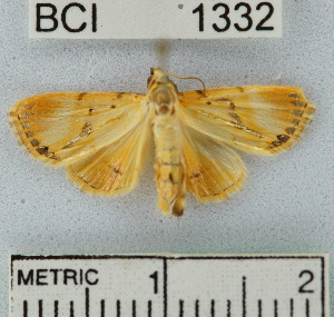 (NoctuidaeGEN sp. 6YB - YB-BCI1332)  @13 [ ] No Rights Reserved  Unspecified Unspecified