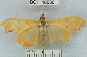 (Sparagmia gonoptera - YB-BCI18036)  @13 [ ] No Rights Reserved  Unspecified Unspecified