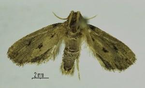 (Acrolophus sp. lep203SG - SG-BCISP3819)  @12 [ ] Unspecified (default): All Rights Reserved  Unspecified Unspecified