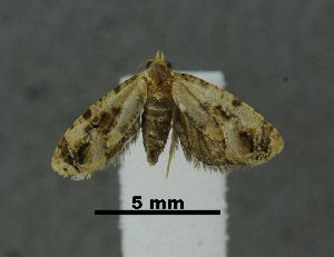 (Cochylis sp. lep97SG - SG-BCISP-8731)  @14 [ ] No Rights Reserved (2014) Unspecified n/a