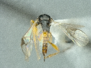 (Cotesia acuminata - CNC974532)  @12 [ ] CreativeCommons - Attribution Share-Alike (2018) Unspecified Canadian National Collection of Insects, Arachnids and Nematodes