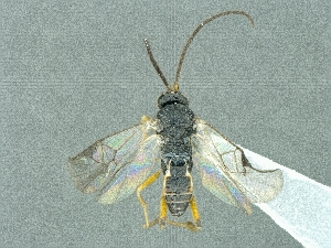 (Cotesia sibyllarum - CNC988240)  @12 [ ] CreativeCommons - Attribution Share-Alike (2018) Unspecified Canadian National Collection of Insects, Arachnids and Nematodes
