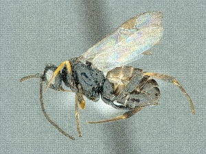(Cotesia tenebrosa - CNCHYM45390)  @13 [ ] CreativeCommons - Attribution Share-Alike (2018) Unspecified Canadian National Collection of Insects, Arachnids and Nematodes